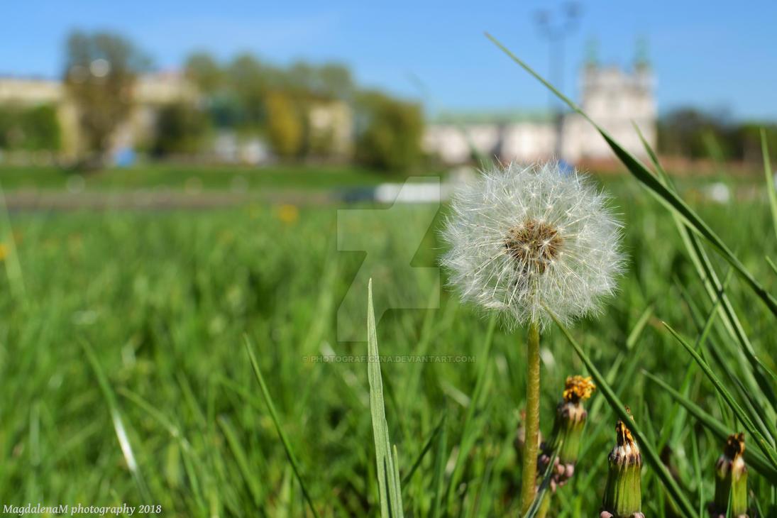 Dandelion by Photograficzna