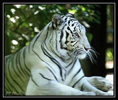 White Tiger by eskimoblueboy