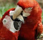 Macaw love