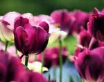 Purple Tulips by eskimoblueboy