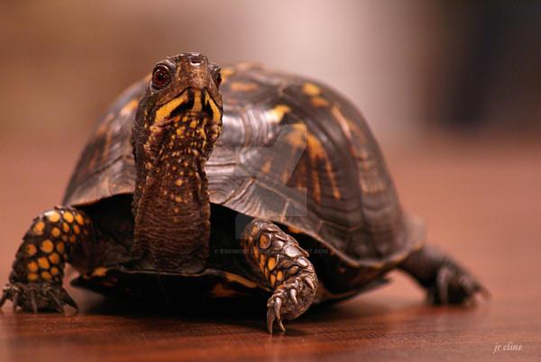 Table Tortoise by eskimoblueboy