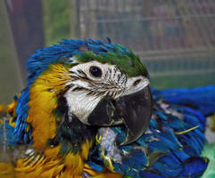 Baby macaw by eskimoblueboy