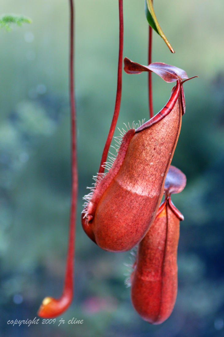 Red Pitcher Plant by eskimoblueboy