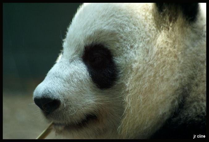 Momma Panda by eskimoblueboy