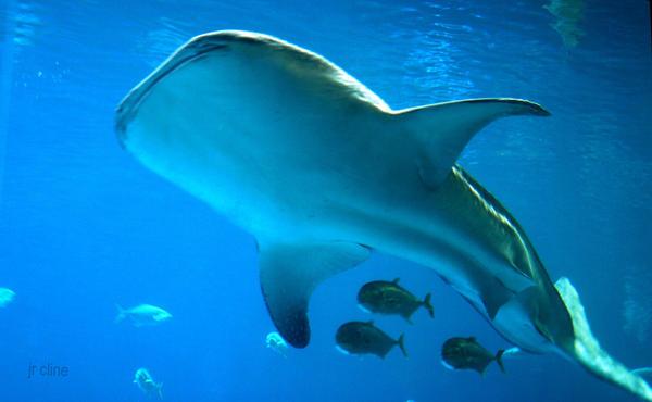 Whale Shark? by eskimoblueboy
