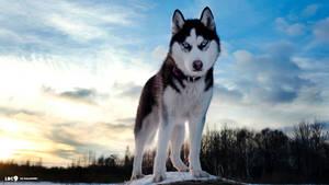 Siberian-Husky-Wallpaper