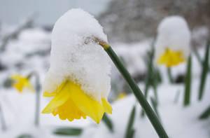 Daffodil by flatproduct
