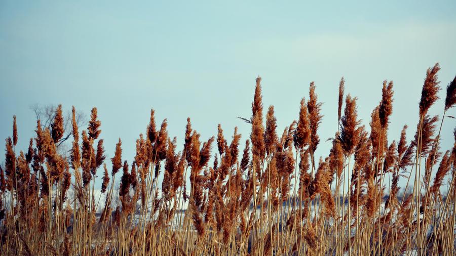 Reed No.2 by DejanB