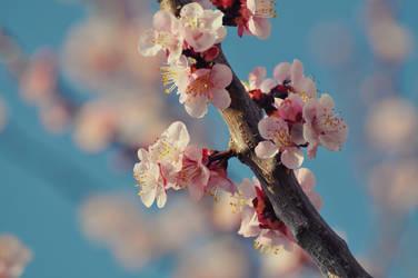 Apricot by DejanB