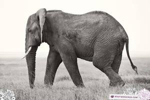 Africa : Elephant