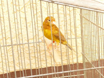 Manni the canary bird by ithilwenia