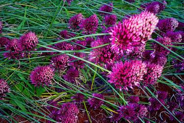 Allium Sphaerocephalon -Drumpstick  allium by JossetteHermanni