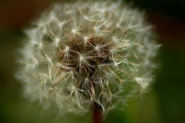 Dandelion by chioreancalin