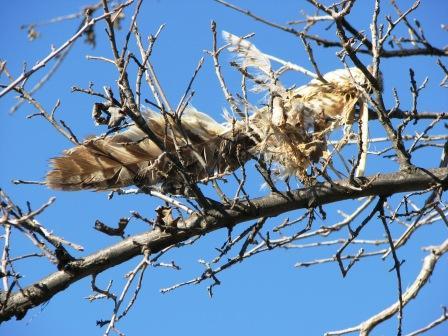Hawk by katonk