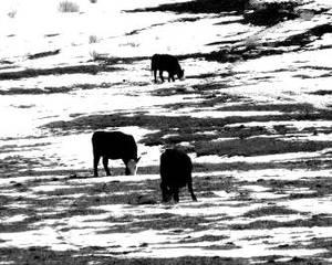 steaks on ice