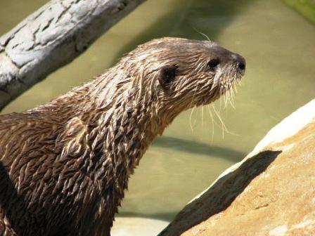 Otter by katonk