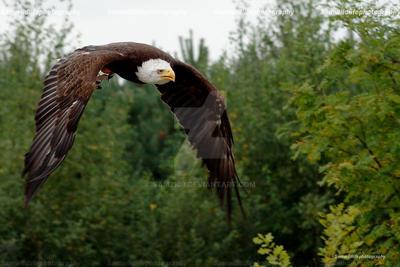 flying bald eagle by Sam2103