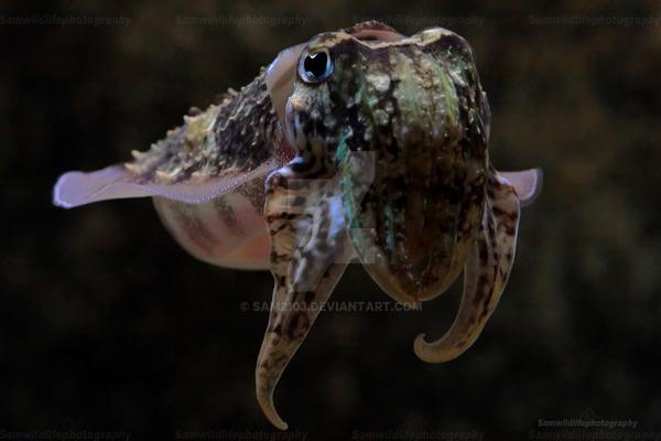 Cuttlefish by Sam2103