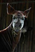 Okapi by Sam2103