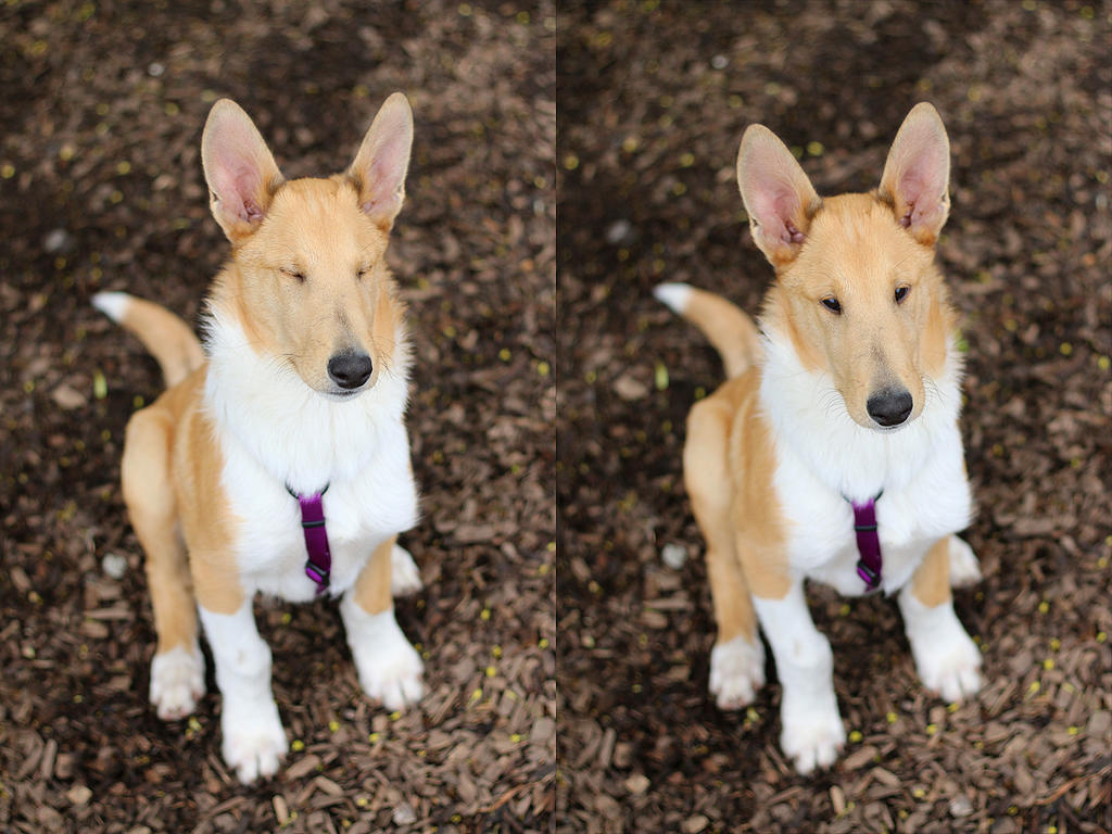 Isaac, the smooth collie by Tigzz