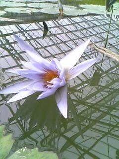 Water lily? by Gekiganfan