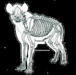 Hyena Skeletal Anatomy