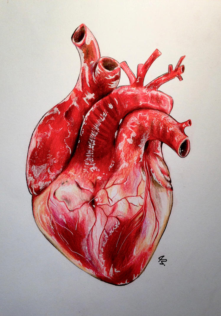Realistic Human Heart by Lunacanan on DeviantArt