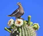 Dove and Cactus Study 3484