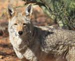 Coyote 3459