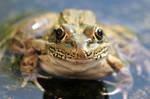 Frog by Mammoth-Hunter