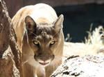 Mountain Lion 5119