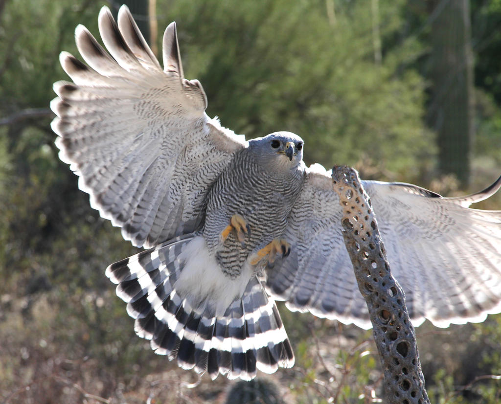 Gray hawk 5031 by mammoth hunter on deviantart for Gray hawk