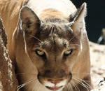 lion up close 5117a