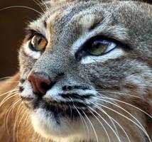Bobcat 1700 by Mammoth-Hunter