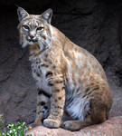 Bobcat 1785 by Mammoth-Hunter