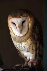 Barn Owl 4473 by Mammoth-Hunter