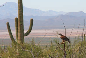 Hawk and Cactus 4040 by Mammoth-Hunter