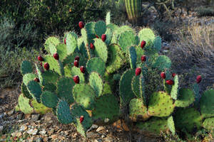 Prickly pear 1209
