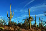 Saguaro 1259 by Mammoth-Hunter