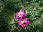 Cactus Flower 1616 by Mammoth-Hunter