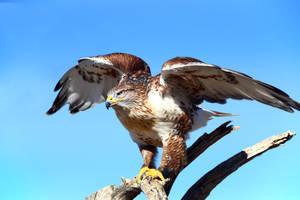 Ferruginous Hawk 7160 by Mammoth-Hunter