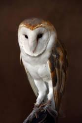 Owl 0004 by Mammoth-Hunter