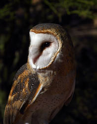 Owl 0089 by Mammoth-Hunter