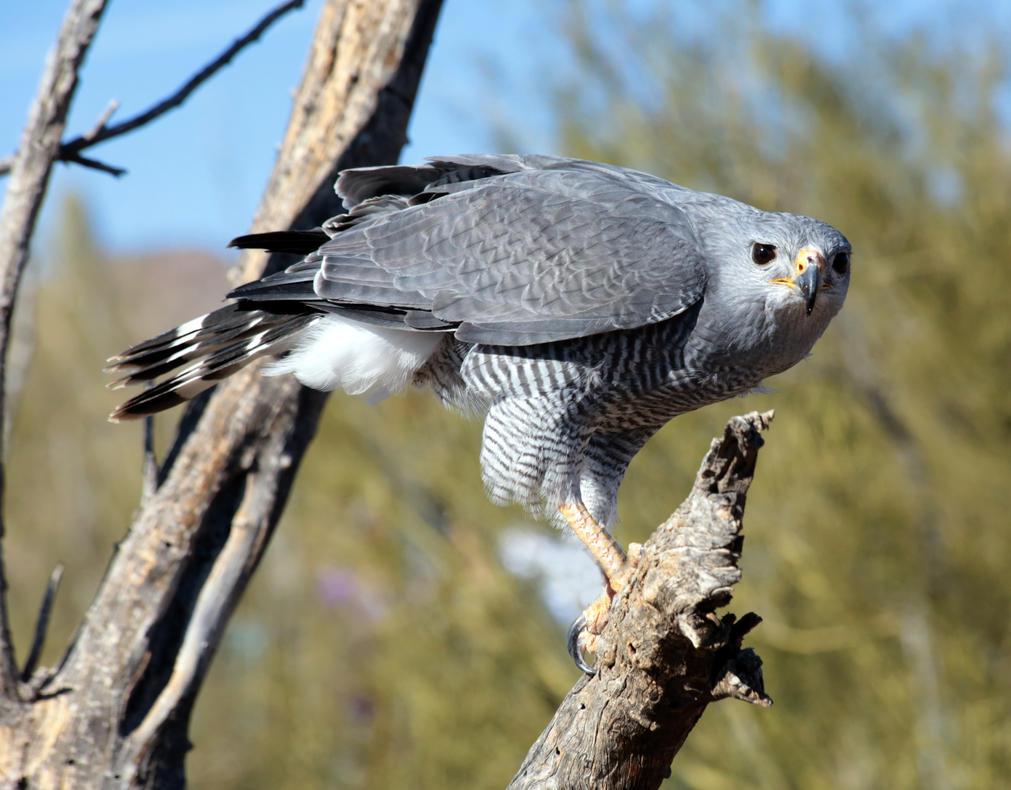 Gray hawk 0190 by mammoth hunter on deviantart for Gray hawk