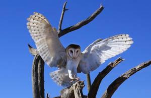 Owl in flight 3005