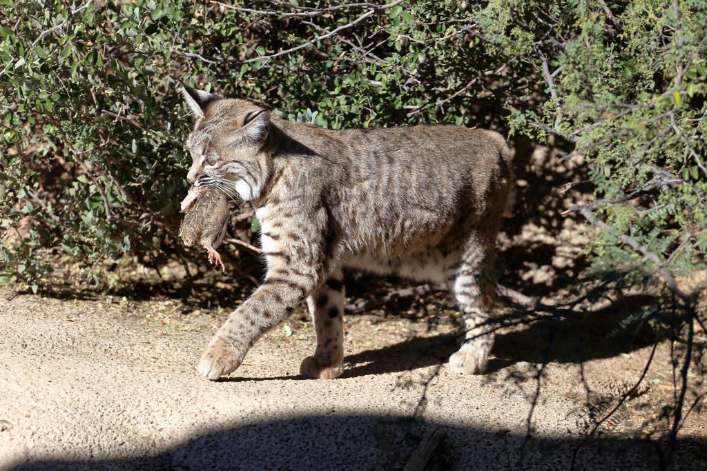 Bobcat with kill by Mammoth-Hunter