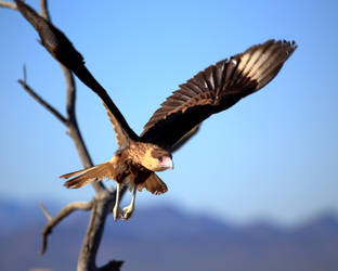 Crested Caracara by Mammoth-Hunter