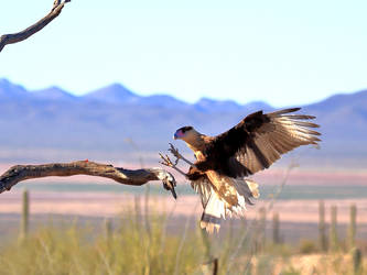 Caracara On the attack by Mammoth-Hunter