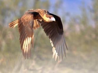 Crested Caracara  Flight by Mammoth-Hunter