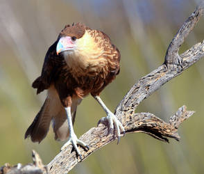 Perched Crested Caracara by Mammoth-Hunter